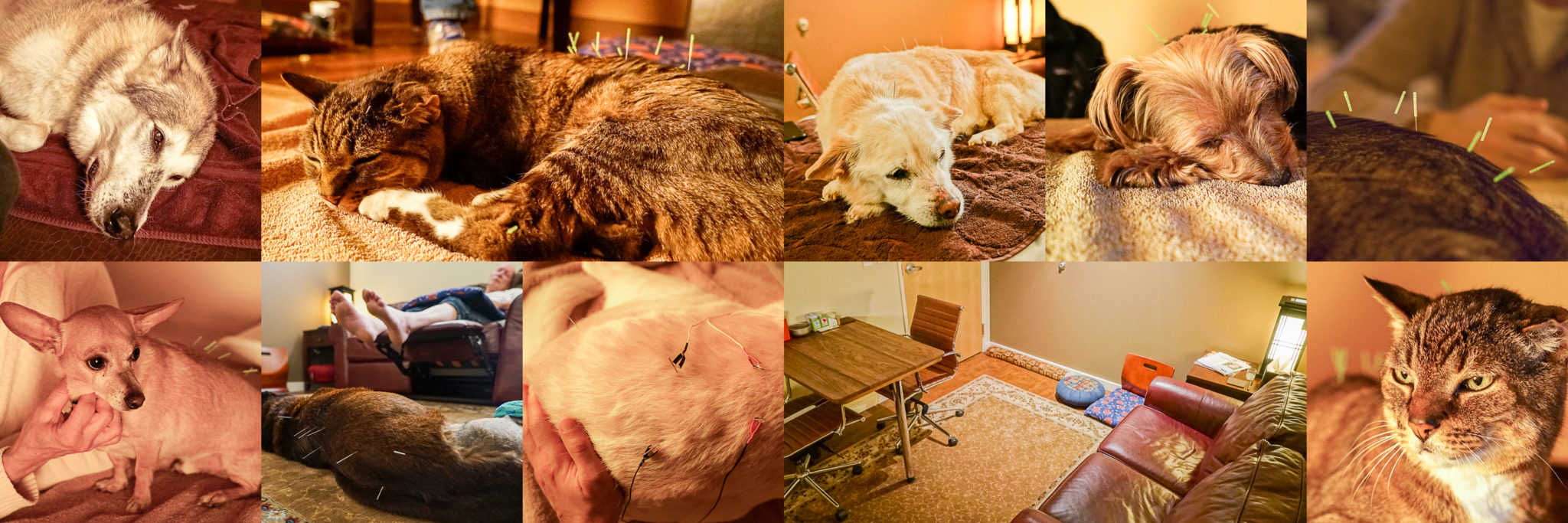 dog acupuncture, dog accupuncture, cat acupuncture, veterinary acupuncture